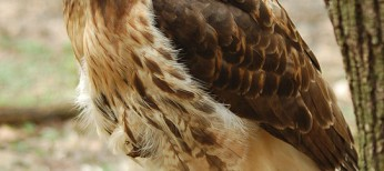 Red-tailed_Hawk_Buteo_jamaicensis_Full_Body_1880px